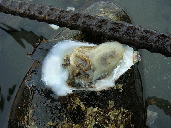川南産牡蠣